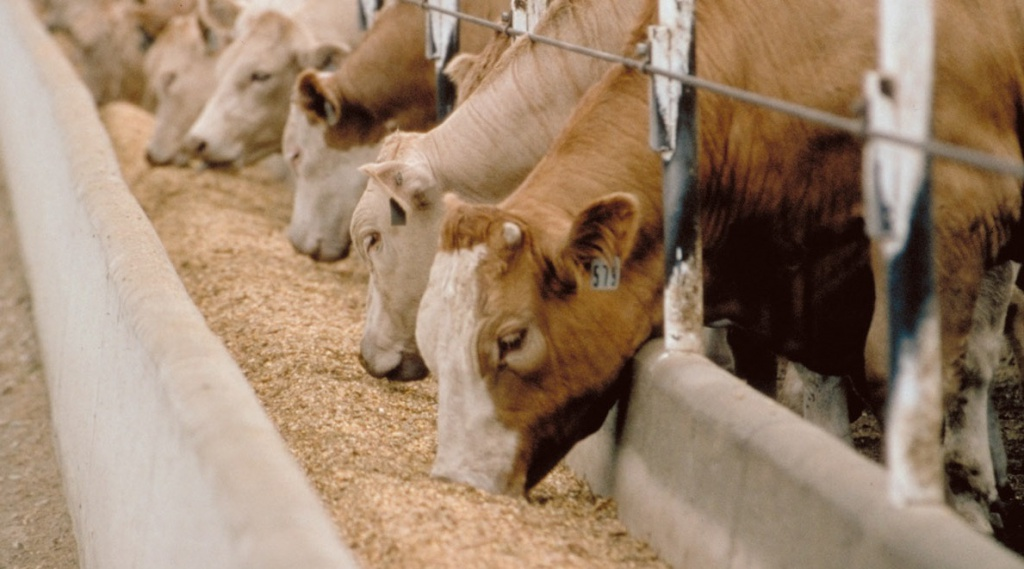 Feedlot-Cattle.jpg